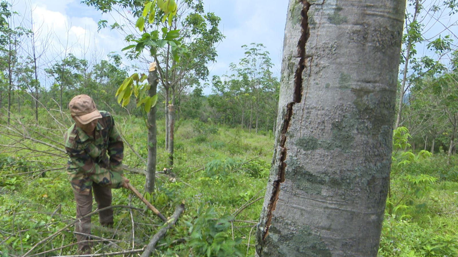 Khai thác cây cao su làm củi